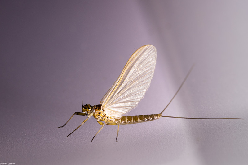 Mayfly in November