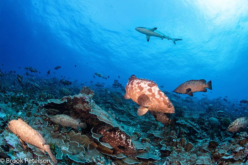 Sharks hunting grouper