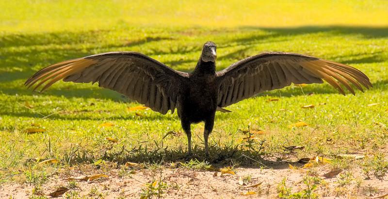 Costa Rica_Vultures-2.jpg