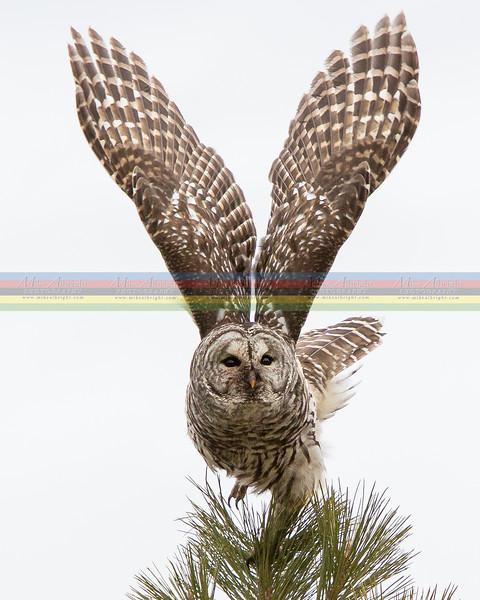 Barred Owl - Bend, Oregon Jan 2013