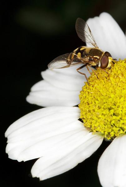 A hornet lands on the flower_4976390452_o_8179360479_o.jpg