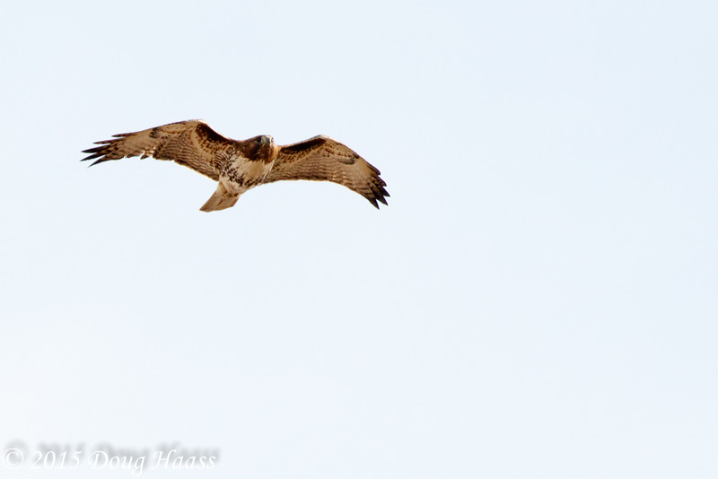 Adult Red-tailed Hawk Buteo jamaicensis