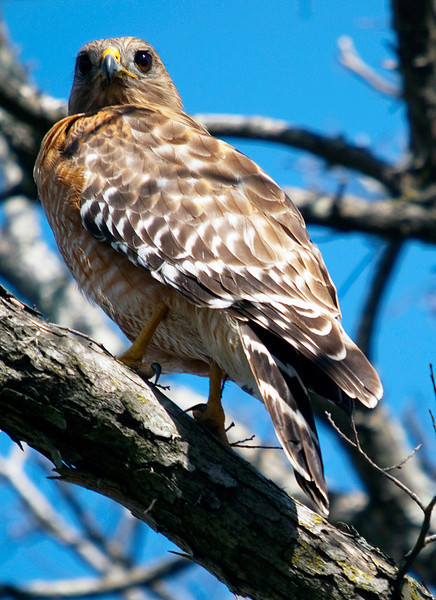 Red-shouldered hawk on a branch by Meyerland Basin, Houston