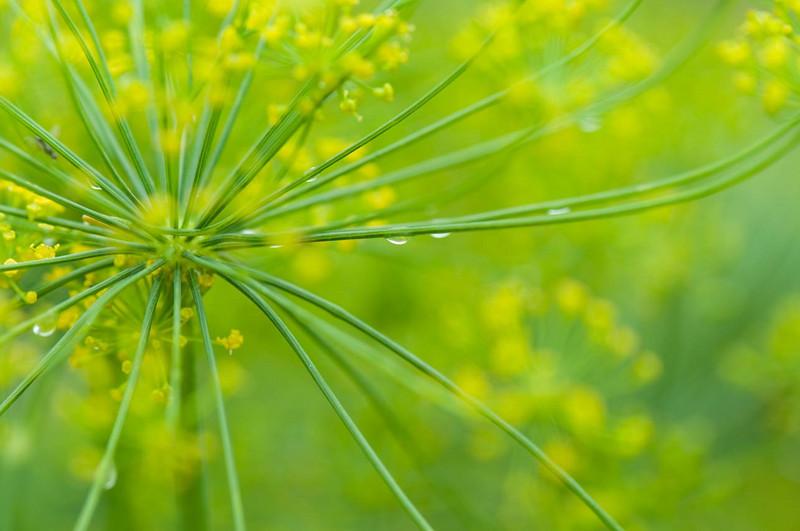 dill-weed.jpg