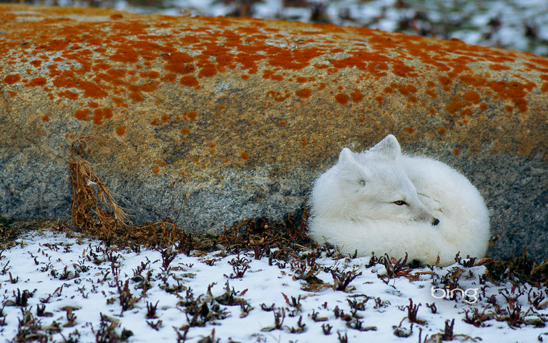 An arctic fox, curled against a rock, in Manitoba, Canada