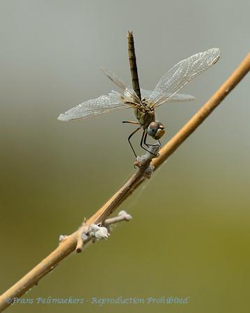 Libellen en Waterjuffers, Dragonflies