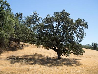 Oak woodlands for Nancy