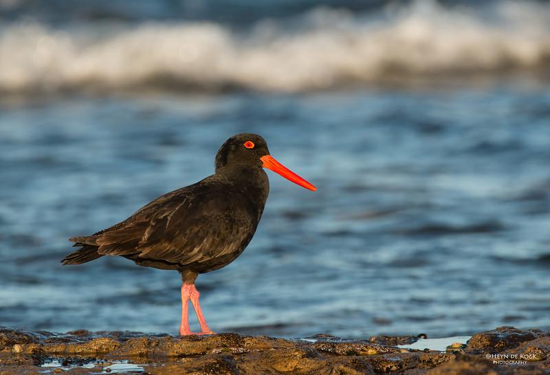Sooty Oystercatcher, Bellambi Beach, NSW, Aus, Sep 2012-1.jpg