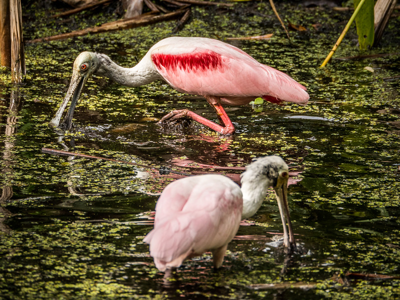 Male and Femaile Roseate Spoonbills