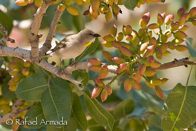 Chestnut-shouldered Sparrow (Petronia xanthocollis)