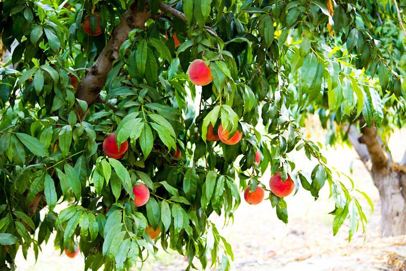 August Lady Peach