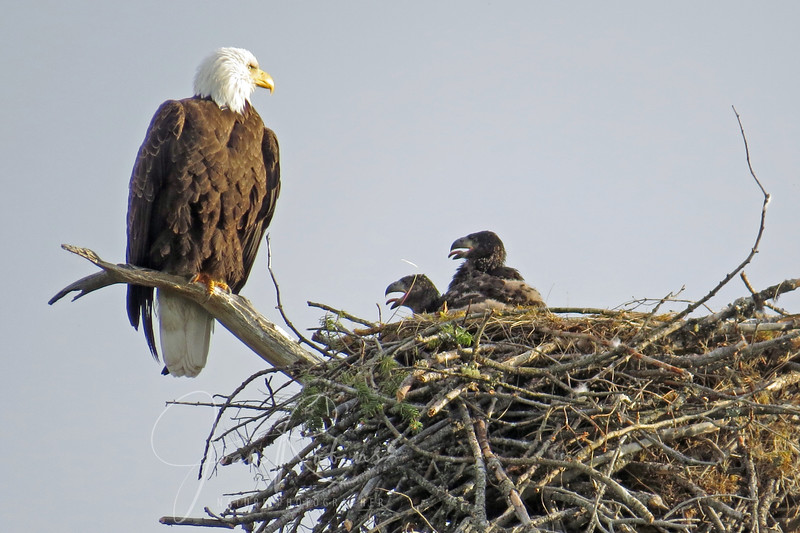 Bald Eagle Nest Montana 2013
