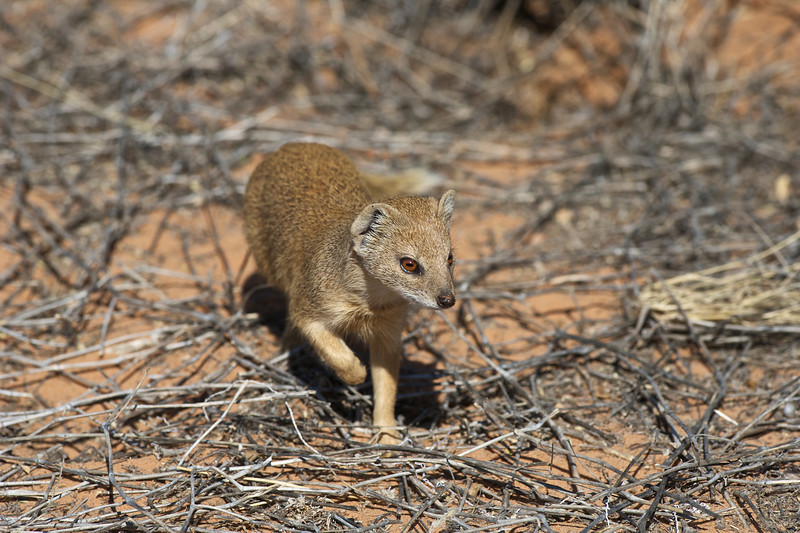 White-tailed mongoose, Kgaligadi Transfrontier Park, South Africa