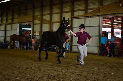 625 Stud Foal Percherons