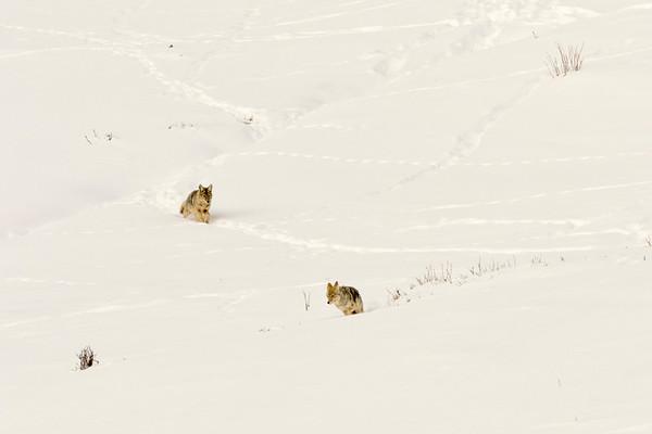 The Coyote Scuffle