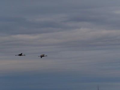 Sandhill Cranes, 3-17