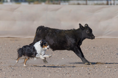 Comstock Classic Stockdog Trial 2019