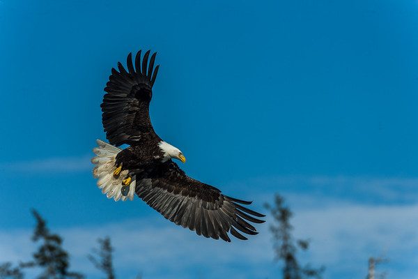 Eagles in Alaska