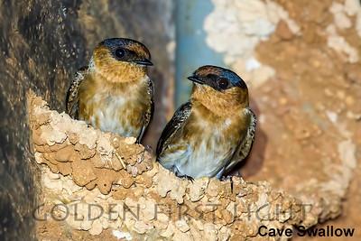 Cave Swallow, Jamaica