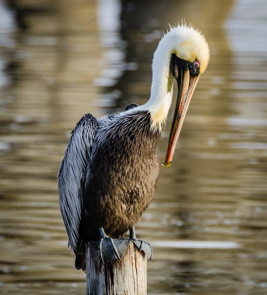 Pelican 1-1056.jpg