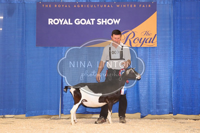 RAWF Dairy Goat Show Alpine Champions and Candids 2017