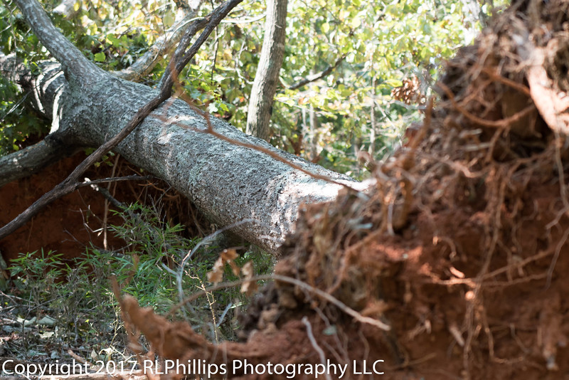 A very large tree was uprooted by Hurricane Irma on September 11, 2017
