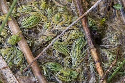 Algues vertes (Charophytes)