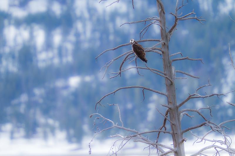 Osprey hunting near Soda Butte Yellowstone National Park WY IMG_0168.jpg