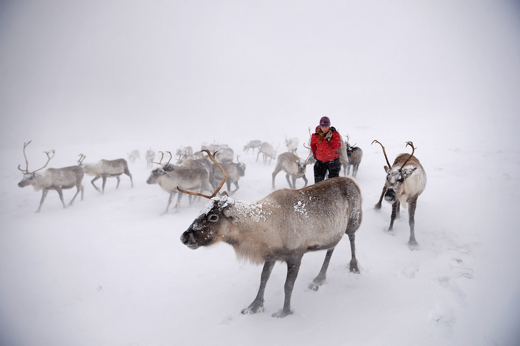. Eve Grayson, a Reindeer herder of the Cairgorm Reindeer Herd, feeds the deer on December 23, 2013 in Aviemore, Scotland. (Photo by Jeff J Mitchell/Getty Images)