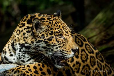 Leopards: 2019