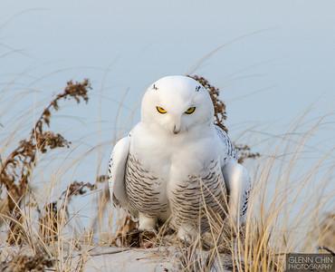 Snowy Owl - Jones Beach 12/20/2013