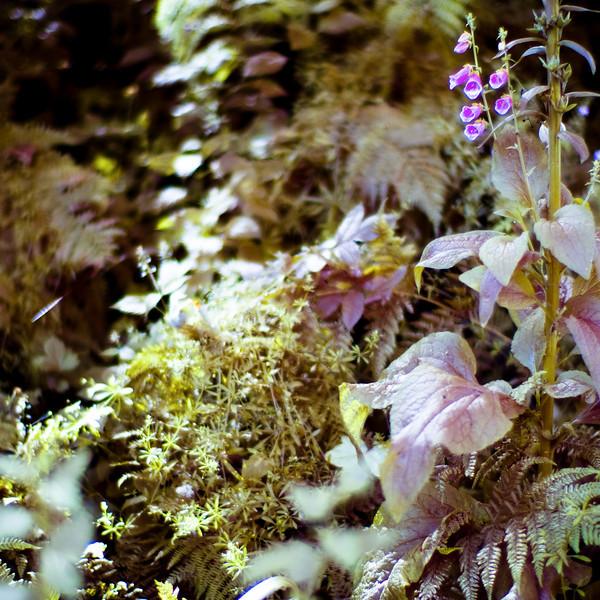 Foxgloves, woodland walk, central Northumberland coast UK