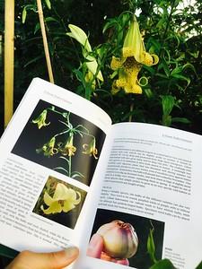 Lilium species guidebook
