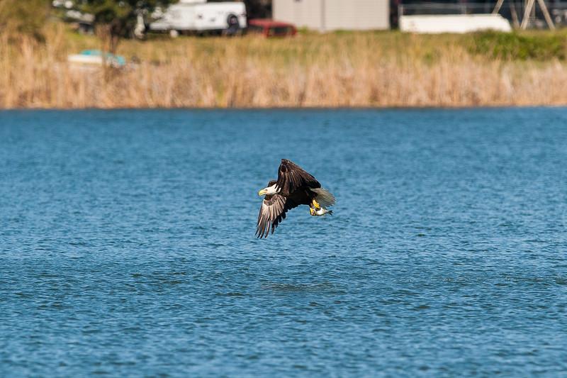 LJ Bald Eagle (4 of 7).jpg
