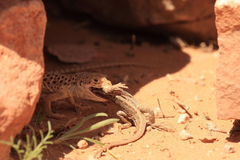 Lizard vs Lizard