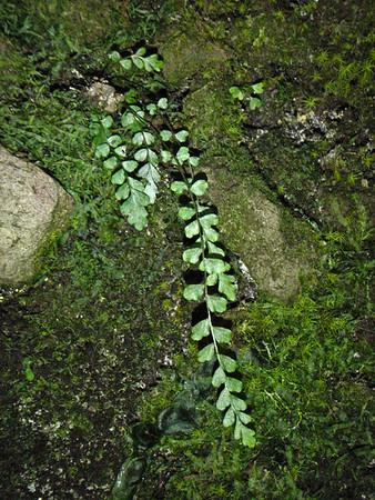 Asplenium peruvianum