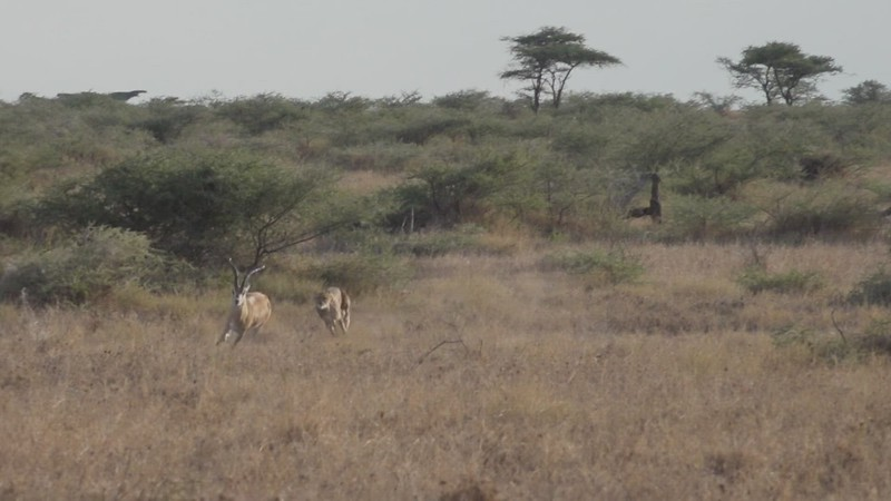 Cheetah brings down a male Grants Gazelle