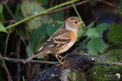 Brambling in the Brambles