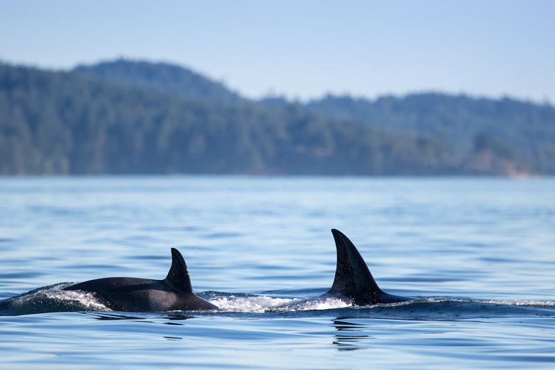 Orcas -  073115-475.jpg
