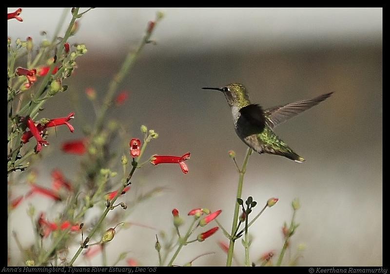 Anna's Hummingbird, Tijuana River Estuary, San Diego County, California, December 2008