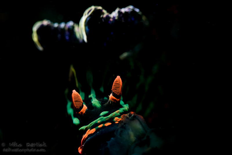 Backlit nembrotha (1 of 1).jpg