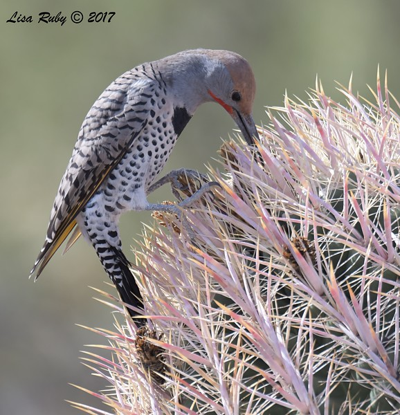 Gilded Flicker - 10/21/2017 - McDowell Sonoran Preserve, Scottsdale AZ