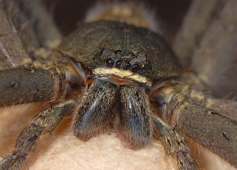 Huntsman Spider (heteropoda venatoria)_CYX.JPG