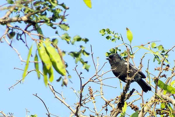 Family: Paridae (tits, penduline-tits)