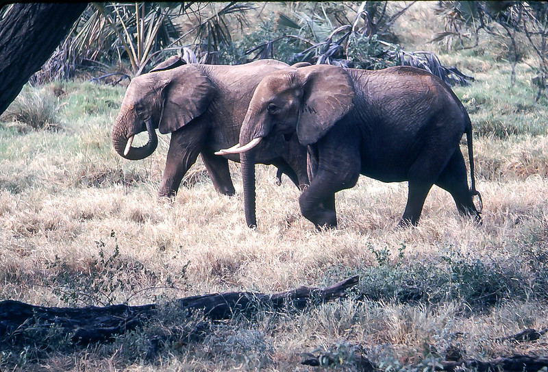 Elephants in Masai Mara Game Reserve, Kenya, 1979