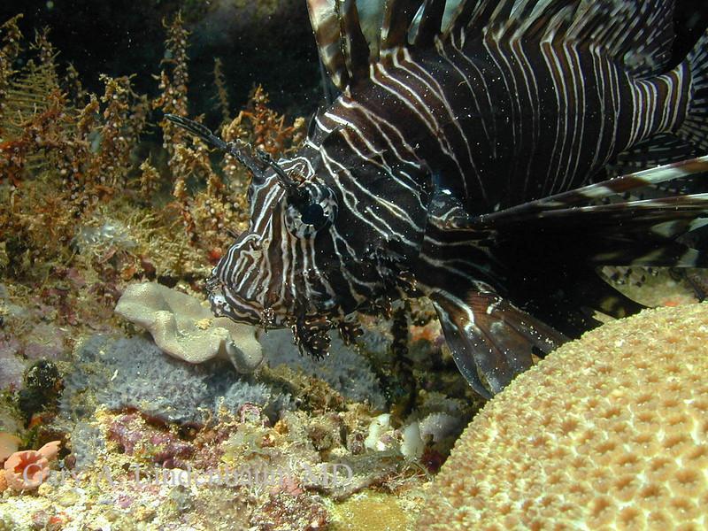 Lionfish23.JPG