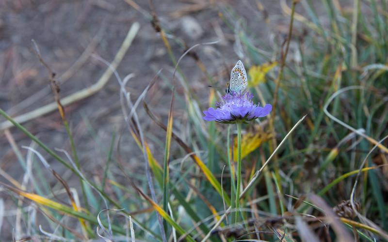 mont granier, bruin blauwtje
