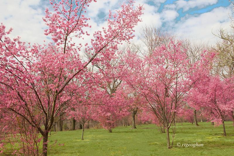 April 10_BranchBrookCherryBlossoms_7587.jpg