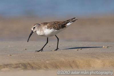 Shorebirds; Button-quails