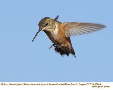 Rufous Hummingbird F28969.jpg